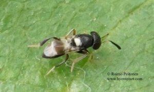 Encyrtidae: Encyrtus infidus 1