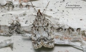Eudonia lacustrata