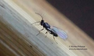 Eulophidae: Tetrastichinae sp. 1