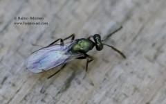 Eulophidae sp. 3