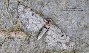 Eupithecia tantillaria