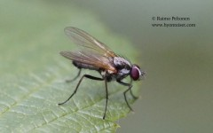 Eutrichota cf. socculata 2