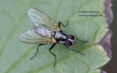 Eutrichota cf. socculata 1