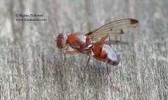 Geomyza cf. hackmani 2