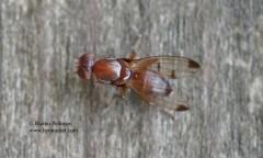 Geomyza cf. hackmani 1