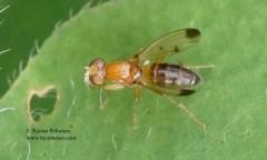 Geomyza cf. hackmani 3