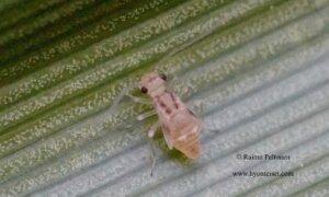 Graphopsocus cruciatus 3