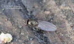 Gymnoclasiopa nigerrima 1