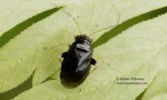 Halticus apterus 1
