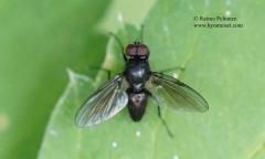 Hebecnema cf. nigra 1