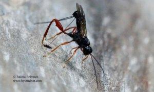 Helconidea ruspator 2