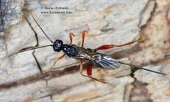 Helconidea ruspator 1