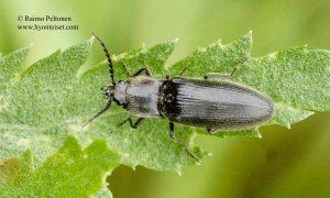 Hemicrepidius niger 1