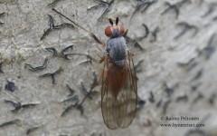Heteromyza atricornis/rotundicornis