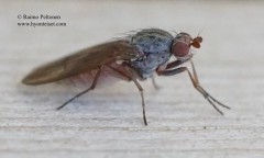 Heteromyza oculata 2
