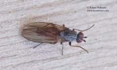 Heteromyza oculata 1