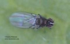 Hydrellia maura 1