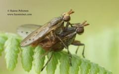 Hydromya dorsalis 2