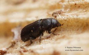 Hylastes cf. brunneus 2