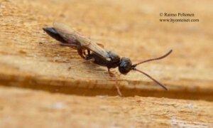 Ichneumoninae, tribus Phaeogenini 2