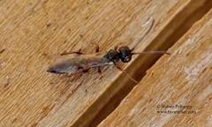 Ichneumoninae, tribus Phaeogenini 1