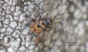 Ischnocoris angulatus