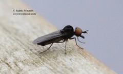 Iteaphila nitidula 2