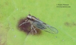 cf. Laodelphax striatella
