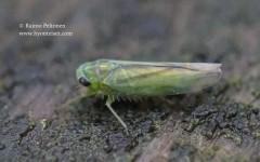 Kybos cf. smaragdula 2