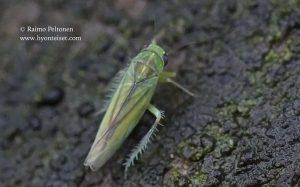 Kybos cf. smaragdula 1
