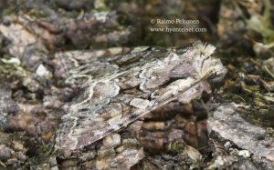 Lacanobia thassalina