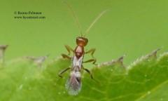 Leiophron fascipennis