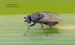 Leptocera nigra 2