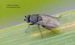 Leptocera nigra 1