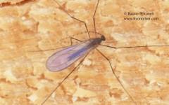 Lestremiinae sp.