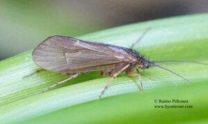 Limnephilus fuscicornis