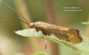 Limnephilus germanus 1