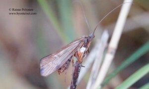 Limnephilus germanus 2