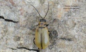 Lochmaea scutellaris