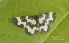 Lomaspilis marginata 2