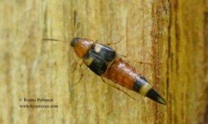 Lordithon lunulatus