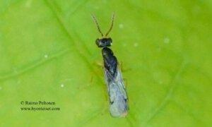 Megastigmidae: Megastigmus sp. 1