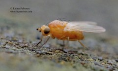 Meiosimyza affinis 2