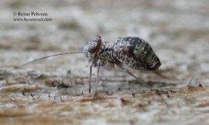 Mesopsocus unipunctatus 2