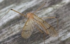 Metalimnobia bifasciata 2