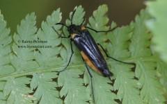 Metoecus paradoxus 1