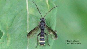 Metopius fuscipennis 1