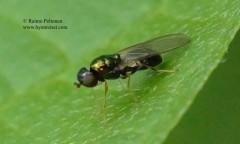 Microchrysa flavicornis 2