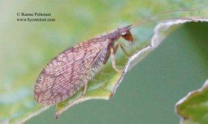 Micromus angulatus 2