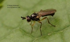Microselapha filiformis 2